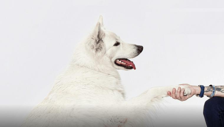 biały pies podaje łapę