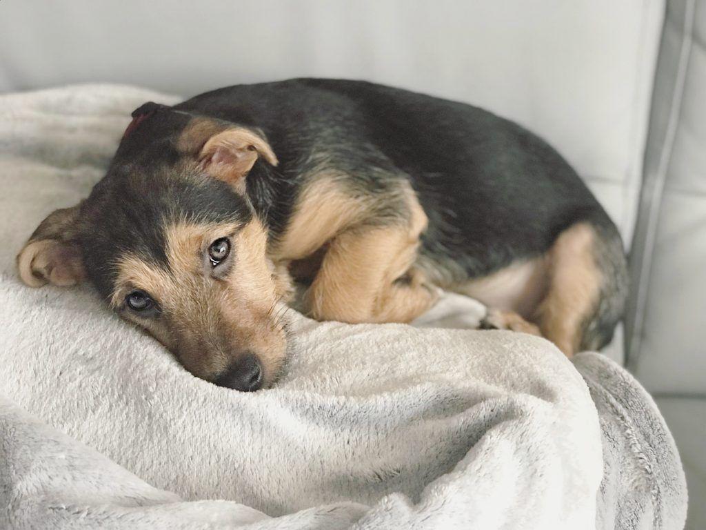 problem z sikaniem u psów